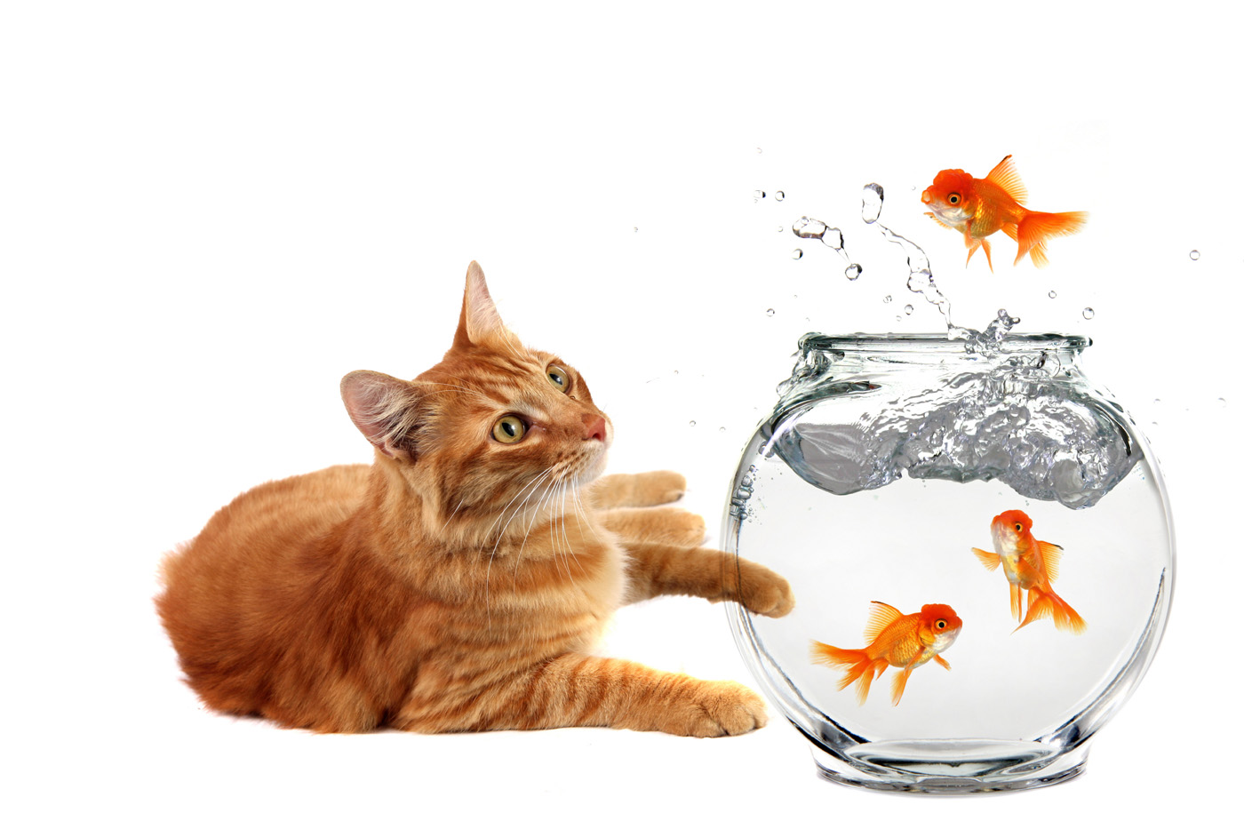 beautiful-gold-fish-and-cat-wallpaper.jpg